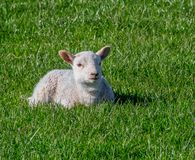 Baby lamb laying down. In a field royalty free stock photo
