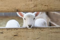 baby lamb looking through fence stock image