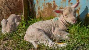 Baby lamb lying in grass Stock Photo