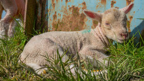 Baby lamb lying in grass Stock Photos