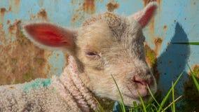 Baby lamb lying in grass Royalty Free Stock Photos