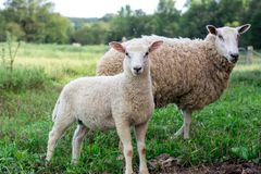 Baby lamb with mother sheep Stock Image