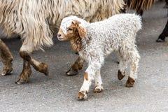 The baby lamb. A baby lamb in the Narat Grassland Resort of Yili of Xinjiang, China stock image