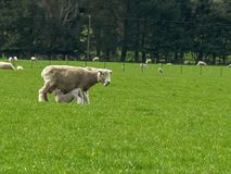 Baby lamb in new zealand feeds from its mother. A baby lamb in new zealand feeds from its mother royalty free stock photography