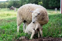 Baby lamb nursing. BFL Blueface Leister stock photo
