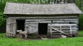 Baby Lamb Nursing Mother Milk stock footage