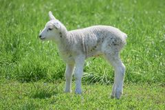Baby Lamb in Pasture Alone. A baby lamb all alone standing up in a grassy pasture.  All fresh, new and white stock photography