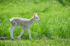 Baby Lamb in Pasture Alone. A baby lamb all alone standing up in a grassy pasture.  All fresh, new and white royalty free stock photography