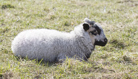 Baby lamb Royalty Free Stock Photo