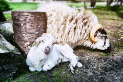 Baby lamb. Resting next to mother royalty free stock photography