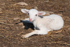 Baby lamb sitting Royalty Free Stock Photography