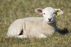Baby lamb. Sitting at meadow stock photography