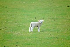 Spring Baby Lamb Sheep Royalty Free Stock Photography