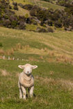 Baby lamb standing on pasture Stock Images