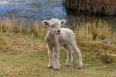 Baby lamb standing Royalty Free Stock Photography