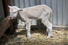 A baby lamb. This baby lamb still has its tail royalty free stock photo