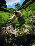 Baby lamb takes lead royalty free stock image