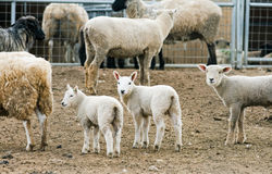 Baby Lambs on a Farm Stock Photography