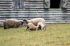 Baby lambs feeding stock image