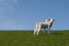 Baby Lambs in field Stock Images