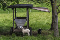 Baby Lambs in Springtime. Two young lambs enjoy the sunshine and food in their pasture in Bavaria, Germany Royalty Free Stock Photo