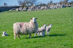 Baby lambs with their mother. In a field royalty free stock image