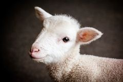 Baby-Lamm-Gesicht Stockfotografie