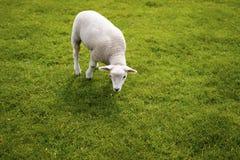 Baby-Lamm-Gesicht Nette tierische stehende Wiese bei Yorkshire Sculptu Lizenzfreie Stockfotografie