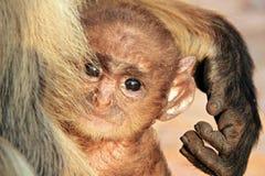 Baby Langur Stock Foto's