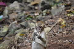 Baby Macaque learning. A baby macaque seeing if this rock is edible Stock Photography