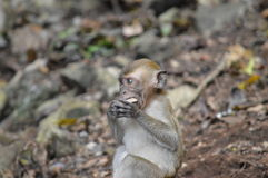 Baby Macaque learning. A baby macaque seeing if this rock is edible Royalty Free Stock Photography