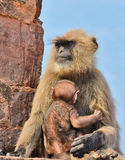 Baby langur with mother. Image of baby and mother langur sitting on fort ruins Stock Image