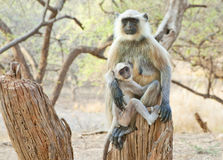 Baby langur with mother. Image of baby and mother langur sitting on tree trunk Royalty Free Stock Photography