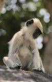 A baby langur at something staring. Sithulpawwa, Sri Lanka Stock Photo