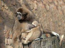 A mother lar gibbon ape, Hylobates lar, holds her baby stock photo