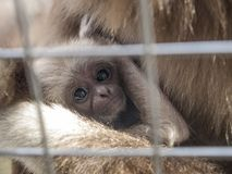 A baby lar gibbon with his mother behind the bars. A baby lar gibbon ape, Hylobates lar, with his mother in a zoo behind the bars. A young monkey has big dark royalty free stock photos