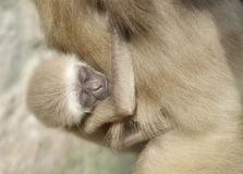 Baby lar gibbon ape, Hylobates lar. A monkey kid sucks his mother. A baby lar gibbon ape, Hylobates lar. The little baby is sucking his mother. The touching royalty free stock image