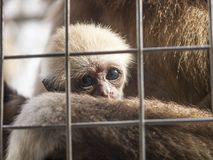 A baby lar gibbon behind the bars royalty free stock photos