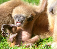 Baby Lar Gibbon stretching Royalty Free Stock Photo