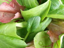 Baby leaf salad. Fresh baby leaves for green salad Royalty Free Stock Images