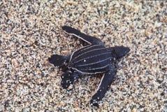 Baby Leatherback sea turtle Dermochelys coriacea newly hatched in Cipara beach, Venezuela royalty free stock photos