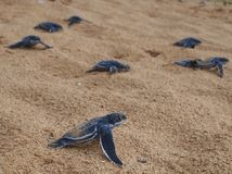 Baby leatherback turtles Stock Photography