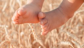 Baby legs against the background of wheat royalty free stock images