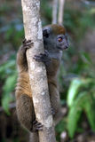 Baby lemur. In rainforest of Madagascar is climbing on tree Stock Images