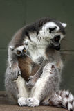 Baby Lemur Royalty Free Stock Photos