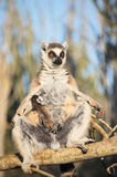 Baby lemur catta, ring tailed lemur, suckling on its mother which is sun bathing. Ring tailed lemur likes to warm up in the morning by exposing their bright Royalty Free Stock Image