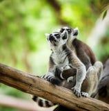 Baby lemur Royalty Free Stock Image