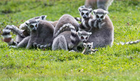 Baby lemur with family Royalty Free Stock Photos