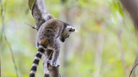 Baby lemur jumping on a tree branch in Madagascar. Cute baby ring tailed lemur, endemic specie in Madagascar, jumping on a branch tree Stock Image