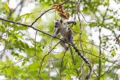 Baby lemur jumping on a tree branch in Madagascar. Cute baby ring tailed lemur, endemic specie in Madagascar, jumping on a branch tree Stock Photos